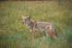 COYOTE IN GRASS, BANFF NATIONAL PARK