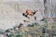MULE DEER FAWNS, NEW-BORNS, DINOSAUR PROVINCIAL PARK