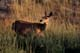 MULE DEER IN GRASS AT SUNSET, DINOSAUR PROVINCIAL PARK
