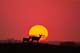 MULE DEER AT SUNSET, DELISLE