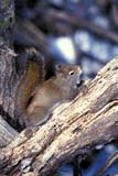 ANI SQU RED  SK   WS20748D  VTRED SQUIRREL ON TREE IN WINTERPIKE LAKE PROV PK            02/..© WAYNE SHIELS               ALL RIGHTS RESERVEDANIMALS;BULLETINS;PIKE_LAKE_PP;PLAINS;PP_;PRAIRIES;RED_SQUIRREL;SASKATCHEWAN;SK_;SQUIRRELS;VTL;WINTER LONE PINE PHOTO              (306) 683-0889