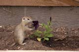 ANI SQU RIC  SK     1015187DRICHARDSON GROUND SQUIRRELPIKE LAKE PROV. PK            06/07© CLARENCE W. NORRIS      ALL RIGHTS RESERVEDANIMALS;FLOWERS;PIKE_LAKE_PP;PLAINS;PP_;PRAIRIES;RICHARDSON_GROUND_SQUIRREL;SASKATCHEWAN;SK_;SQUIRRELS;SUMMERLONE PINE PHOTO              (306) 683-0889