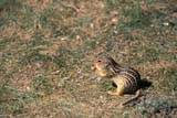 ANI SQU THI  SK     0810208DTHIRTEEN-LINED GROUND SQUIRREL DOUGLAS PROV PK            07/..© CLARENCE W. NORRIS     ALL RIGHTS RESERVEDANIMALS;DOUGLAS_PP;PLAINS;PP_;PRAIRIES;SASKATCHEWAN;SK_;SQUIRRELS;SUMMER;THIRTEEN_LINED_GROUND_SQUIRREL LONE PINE PHOTO              (306) 683-0889