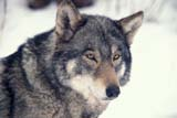 ANI WOL GRA  SK     1800506D GRAY WOLF IN WINTER(CANIS LUPUS)PADDOCKWOOD                 02/19© CLARENCE W. NORRIS      ALL RIGHTS RESERVEDANIMALS;GRAY_WOLF;PADDOCKWOOD;PARKLAND;PLAINS;PRAIRIES;SASKATCHEWAN;SK_;TIMBER;WINTER;WOLVESLONE PINE PHOTO              (306) 683-0889