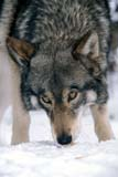 ANI WOL GRA  SK     1800620D  VTGRAY WOLF IN WINTER(CANIS LUPUS)PADDOCKWOOD                 02/19© CLARENCE W. NORRIS      ALL RIGHTS RESERVEDANIMALS;BULLETINS;GRAY_WOLF;PADDOCKWOOD;PARKLAND;PLAINS;PRAIRIES;SASKATCHEWAN;SK_;SNOW;TIMBER;VTL;WINTER;WOLVESLONE PINE PHOTO              (306) 683-0889