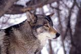 ANI WOL GRA  SK     1800703DGRAY WOLF IN WINTERPADDOCKWOOD                      0219© CLARENCE W. NORRIS           ALL RIGHTS RESERVEDANIMALS;GRAY_WOLF;HUNTING;PADDOCKWOOD;PARKLAND;PLAINS;PRAIRIES;SASKATCHEWAN;SK_;TIMBER;WINTER;WOLVESLONE PINE PHOTO                  (306) 683-0889