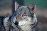 ANI WOL GRA  SK     1905010DGRAY WOLF IN PINESPRINCE ALBERT                      06/..© CLARENCE W. NORRIS         ALL RIGHTS RESERVEDANIMALS;BOREAL;GRAY_WOLF;PARKLAND;PRINCE_ALBERT;SASKATCHEWAN;SK_;SUMMER;TIMBER;WOLVESLONE PINE PHOTO                  (306) 683-0889
