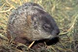 ANI WOO MIS  SK     1516224DWOODCHUCK(MARMOTA MONAX)SASKATOON                       10/28© CLARENCE W. NORRIS      ALL RIGHTS RESERVEDANIMALS;PLAINS;PRAIRIES;SASKATCHEWAN;SASKATOON;SK_;SUMMER;WOODCHUCKSLONE PINE PHOTO              (306) 683-0889