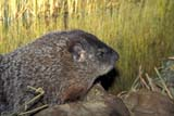 ANI WOO MIS  SK     1516230DWOODCHUCK(MARMOTA MONAX)SASKATOON                       10/28© CLARENCE W. NORRIS      ALL RIGHTS RESERVEDANIMALS;PLAINS;PRAIRIES;SASKATCHEWAN;SASKATOON;SK_;SUMMER;WOODCHUCKSLONE PINE PHOTO              (306) 683-0889