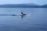ANI WHA KIL  BC  DSR1000264DKILLER OR ORCA WHALE(ORCINUS ORCA)SALT SPRING ISLAND           ../..© DUANE S. RADFORD        ALL RIGHTS RESERVEDANIMALS;BC_;BRITISH;BRITISH_COLUMBIA;COLUMBIA;KILLER_WHALE;ORCA_WHALE;PACIFIC;SALT_SPRING_ISLAND;SUMMER;WATER;WEST_COAST;WHALES LONE PINE PHOTO              (306) 683-0889