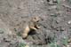 RICHARDSON GROUND SQUIRREL AT ENTRANCE TO BURROW, CYPRESS HILLS