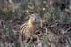 THIRTEEN-LINED GROUND SQUIRREL, OAK HAMMOCK MARSH