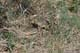 THIRTEEN-LINED GROUND SQUIRREL, PIKE LAKE PROVINCIAL PARK