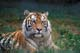 BENGAL TIGER LAYING IN GRASS, NORWOOD