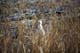 LONGTAIL WEASEL IN SPRING GRASS, LANGHAM