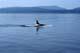 KILLER OR ORCA WHALE, SALT SPRING ISLAND, BC