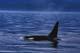 KILLER OR ORCA WHALE, TELEGRAPH COVE