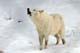 ARCTIC WOLF HOWLING, SHEBENACADIE WILDLIFE PARK, SHEBENACADIE