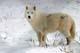 ARCTIC WOLF, SHEBENACADIE WILDLIFE PARK, SHUBENACADIE