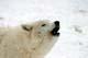 HOWLING ARCTIC WOLF, SHUBENACADIE WILDLIFE PARK, SHUBENACADIE