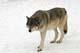 GRAY TIMBER WOLF, SHUBENACADIE WILDLIFE PARK, SHUBENACADIE
