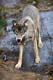 GRAY TIMBER WOLF, MASSEY
