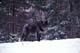 GRAY WOLF IN WINTER, SUDBURY