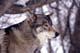 GRAY WOLF IN WINTER, PADDOCKWOOD