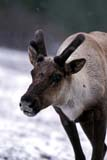ANI CAR MOU  AB  TAP0000063D  VT MOUNTAIN CARIBOU IN THE SNOWJASPER NATIONAL PARK           05© TERRY A. PARKER                ALL RIGHTS RESERVED  TP 21080AB_;ALBERTA;ALPINE;ANIMALS;ANTLERS;CARIBOU;CORDILLERA;FUR;JASPER_NP;MOUNTAIN_CARIBOU;MOUNTAINS;NP_;ROCKIES;ROCKY;ROCKY_MOUNTAINS;SNOW;SPRING;VELVET;VTLLONE PINE PHOTO                 (306) 683-0889