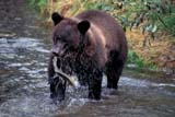 ANI BEA GRI  BC  TAP0000019DGRIZZLY BEAR FISHINGWEST COAST                          09© TERRY A. PARKER                ALL RIGHTS RESERVED  TP20221ANIMALS;AUTUMN;BC_;BEARS;BRITISH;BRITISH_COLUMBIA;COAST;COLUMBIA;CORDILLERA;FISH;FISHING;FOOD;FUR;GRIZZLY;GRIZZLY_BEAR;PACIFIC;WATER;WEST;WEST_COASTLONE PINE PHOTO                 (306) 683-0889
