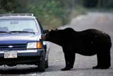 ANI BEA GRI  BC  TAP0000026DGRIZZLY BEAR BESIDE CARWEST COAST                          09© TERRY A. PARKER                ALL RIGHTS RESERVEDANIMALS;AUTOS;BC_;BEARS;BRITISH;BRITISH_COLUMBIA;CARS;COAST;COLUMBIA;CORDILLERA;ENVIRONMENTAL;ENVIRONMENTAL_IMPACT;FUR;GRIZZLY;GRIZZLY_BEAR;IMPACT;PACIFIC;ROADS;SILVERTIP;SUMMER;WEST;WEST_COASTLONE PINE PHOTO                 (306) 683-0889