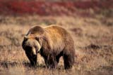 ANI BEA GRI  NT  TAP0000016DGRIZZLY BEAR ON BARREN GROUNDCENTRAL BARRENS                   09© TERRY A. PARKER                ALL RIGHTS RESERVED  TP 14200ARCTIC;ANIMALS;BARRENS;BEARS;CENTRAL;FUR;GRIZZLY;GRIZZLY_BEAR;NORTHWEST;NT_;NWT;TERRITORIES;SILVERTIP;SUMMER;TUNDRALONE PINE PHOTO                 (306) 683-0889