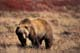 GRIZZLY BEAR ON BARREN GROUND, CENTRAL BARRENS