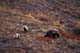 GRIZZLY BEAR AND CUBS FEEDING ON BARREN GROUND, CENTRAL BARRENS