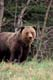 GRIZZLY OR SILVERTIP BEAR, JASPER NATIONAL PARK