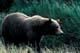 GRIZZLY BEAR, WEST COAST