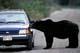 GRIZZLY BEAR BESIDE CAR, WEST COAST