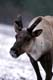 MOUNTAIN CARIBOU IN THE SNOW, JASPER NATIONAL PARK