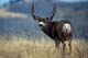 MULE DEER BUCK, WATERTON LAKES NATIONAL PARK