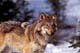 GRAY OR TIMBER WOLF, BANFF NATIONAL PARK