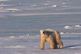 ANI BEA POL  MB  JLB10B6890DXPOLAR BEAR ON ICE OF HUDSON BAY(URSUS MARITIMUS)WAPUSK NATIONAL PARK        11© JOHN L. BYKERK                  ALL RIGHTS RESERVEDARCTIC;BEARS;CHURCHILL;FUR;HUDSON_BAY;ICE;MANITOBA;MB_;NP_;POLAR_BEAR;SCENES;SHIELD;SNOW;TUNDRA;WAPUSK_NP;WINTERLONE PINE PHOTO                 (306) 683-0889