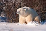 ANI BEA POL  MB  JLB10B6914DXPOLAR BEAR RESTING NEAR WILLOWS(URSUS MARITIMUS)HUDSON BAY LOWLANDSWAPUSK NATIONAL PARK        11© JOHN L. BYKERK                  ALL RIGHTS RESERVEDARCTIC;BEARS;CHURCHILL;FUR;HUDSON_BAY;HUDSON_BAY_LOWLANDS;MANITOBA;MB_;NP_;POLAR_BEAR;SCENES;SHIELD;SNOW;TUNDRA;WAPUSK_NP;WILLOWS;WINTERLONE PINE PHOTO                 (306) 683-0889