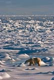 ANI BEA POL  MB  JLB10B6970DX  VTPOLAR BEAR ON ICE OF HUDSON BAY(URSUS MARITIMUS)WAPUSK NATIONAL PARK        11© JOHN L. BYKERK                  ALL RIGHTS RESERVEDARCTIC;BEARS;CHURCHILL;FUR;HUDSON_BAY;ICE;MANITOBA;MB_;NP_;POLAR_BEAR;SCENES;SHIELD;SNOW;TUNDRA;VTL;WAPUSK_NP;WINTERLONE PINE PHOTO                 (306) 683-0889