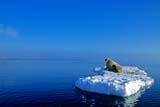 ANI WAL ATL  NU  JLB10A3619DXATLANTIC WALRUS AT REST ON ICE FLOE(ODOBENUS ROSMARUS)FOXE BASINIGLOOLIK                               06© JOHN L. BYKERK                  ALL RIGHTS RESERVEDANIMALS;ARCTIC;ATLANTIC_WALRUS;BARRENS;CENTRAL;FLOES;FOXE_BASIN;ICE;ICE_FLOES;IGLOOLIK;NU_;NUNAVUT;SCENES;SUMMER;TUNDRA;WALRUSES;WATERLONE PINE PHOTO                 (306) 683-0889