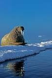 ANI WAL ATL  NU  JLB10B3602DX  VTATLANTIC WALRUS ON ICE FLOE(ODOBENUS ROSMARUS)FOXE BASIN IGLOOLIK                               07© JOHN L. BYKERK                  ALL RIGHTS RESERVEDANIMALS;ARCTIC;ATLANTIC_WALRUS;BARRENS;CENTRAL;FLOES;FOXE_BASIN;ICE;ICE_FLOES;IGLOOLIK;NU_;NUNAVUT;SCENES;SUMMER;VTL;WALRUSESLONE PINE PHOTO                 (306) 683-0889