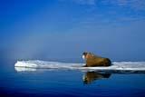 ANI WAL ATL  NU  JLB10B3603DXATLANTIC WALRUS ON ICE FLOE(ODOBENUS ROSMARUS)FOXE BASINIGLOOLIK                               07© JOHN L. BYKERK                  ALL RIGHTS RESERVEDANIMALS;ARCTIC;ATLANTIC_WALRUS;BARRENS;CENTRAL;FLOES;FOXE_BASIN;ICE;ICE_FLOES;IGLOOLIK;NU_;NUNAVUT;SCENES;SUMMER;WALRUSESLONE PINE PHOTO                 (306) 683-0889