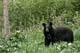 BLACK BEAR IN FOREST, RIDING MOUNTAIN NATIONAL PARK