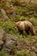 BARREN GROUND GRIZZLY BEAR ON ARCTIC TUNDRA, KENT PENINSULA
