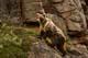 BARREN GROUND GRIZZLY BEAR CLIMBING ROCKY LEDGE, ITABIAK RIVER, KENT PENINSULA