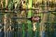 BEAVER SWIMMING, PIKE LAKE PROVINCIAL PARK